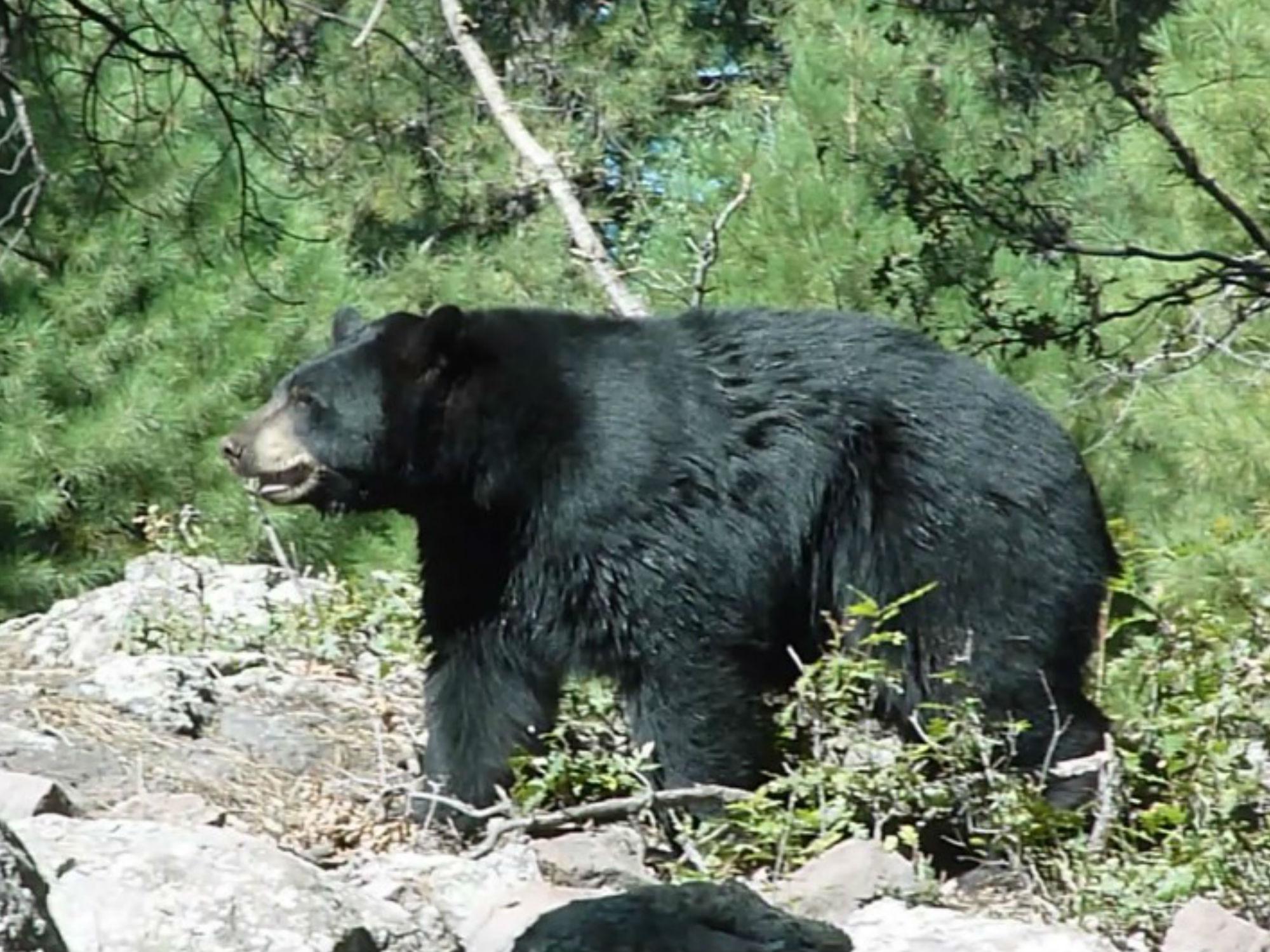 photo-matt-boulton-black-bear-licensed-under-cc-by-sa-2.0