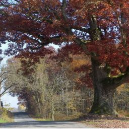 oak tree on a country road