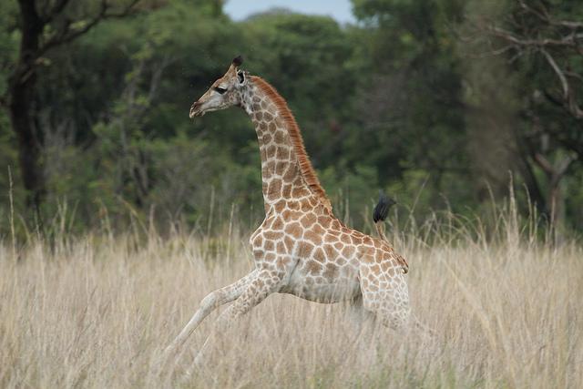 baby giraffe (calf)